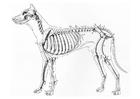 Coloriage squelette de chien