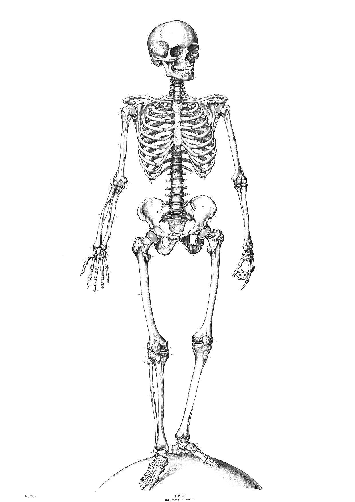 Coloriage squelette img 9340 - Dessin de squelette ...
