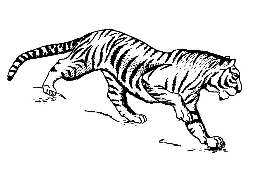 Coloriage Tigre.Coloriage Tigre Img 16629 Images