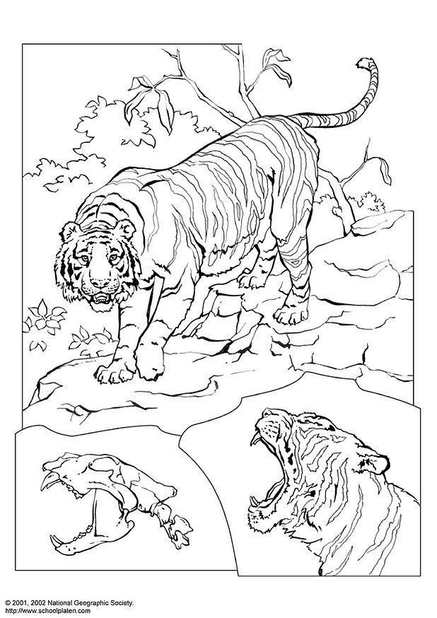 Coloriage Tigre Coloriages Gratuits A Imprimer Dessin 3078