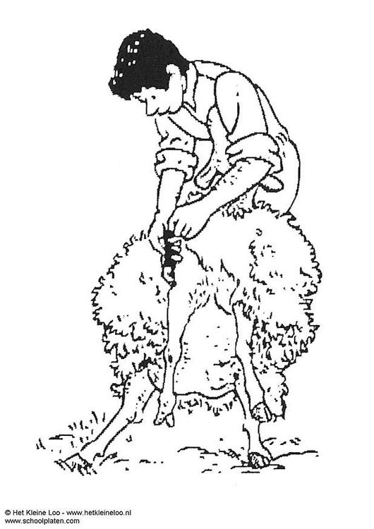 Coloriage tonte d 39 un mouton img 3742 - Mouton en dessin ...