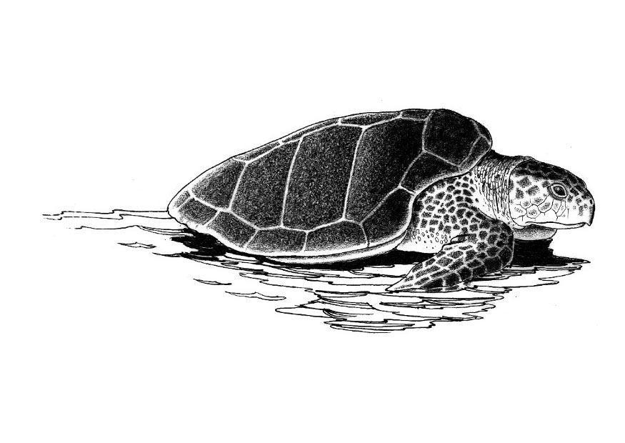 coloriage tortue de mer i8573
