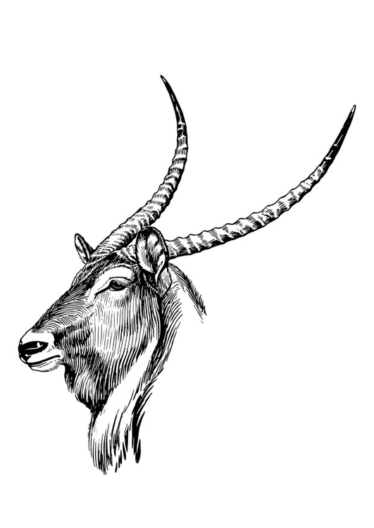 Coloriage waterbuck