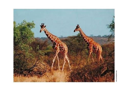 girafe-t2912