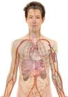 Image anatomie