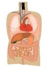 Image organes internes