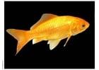 Photo poisson rouge