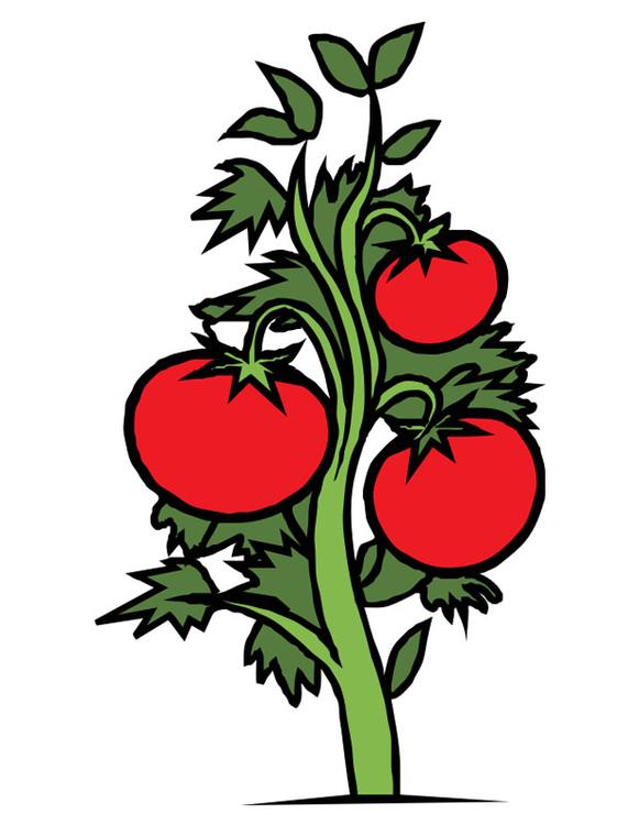Image tomate dessin 19987 - Tomate dessin ...