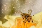 Photo abeille butinant