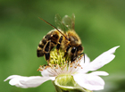 Photo abeille butinant