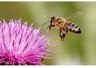 Photo abeille butineuse