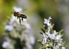 Photo abeille en plein vol