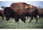 Photo bison américain