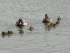 Photo canards avec jeunes