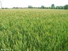 Photo champ de céréales