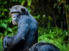 Photo chimpanzé