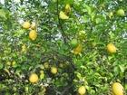 Photo citronnier