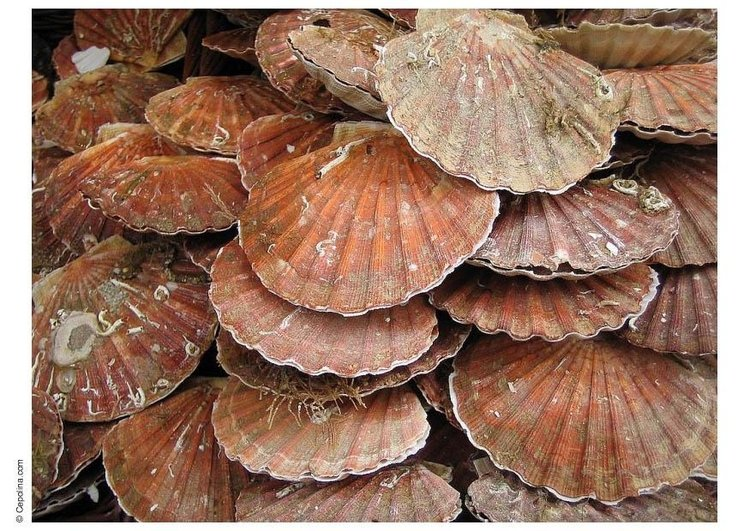 Photo coquille saint jacques img 8449 - Coquille saint jacques dessin ...