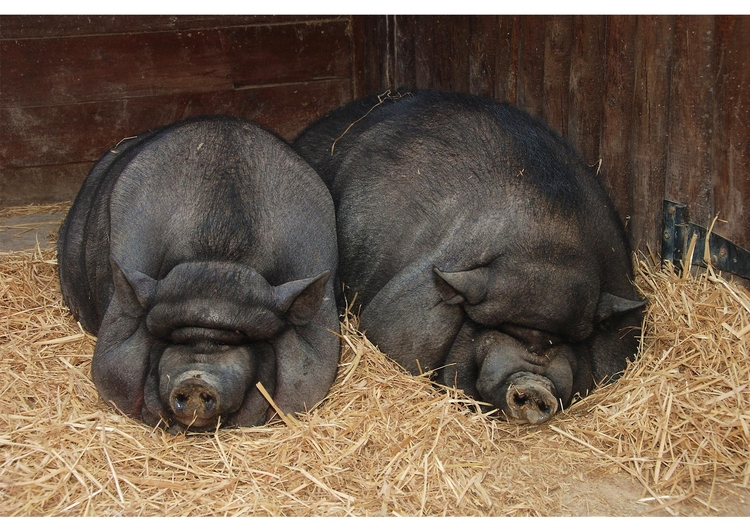 Photo des cochons