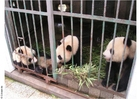 Photos des pandas