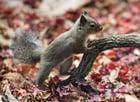 Photo écureuil japonais