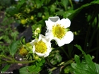 Photo fleurs de fraisier