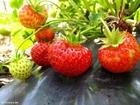 Photo fraises