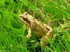 Photo grenouille rousse
