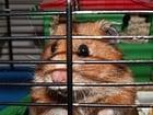 Photo hamster en cage