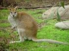 Photo kangourou