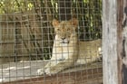 Photos lion en cage