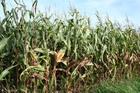 Photo maïs