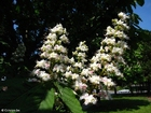 Photo maronnier en fleurs