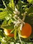 Photo oranges et fleurs d'oranger