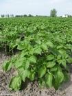 Photo pommes de terre