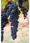 Photo raisins