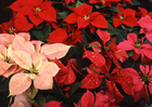 Photo rose de Noël