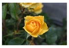 Photo roses jaunes
