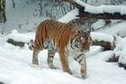 Photo tigre dans la neige