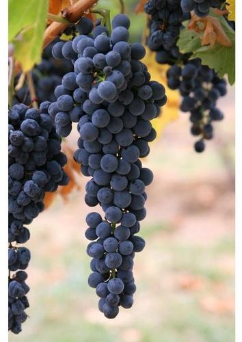 raisins-t7272