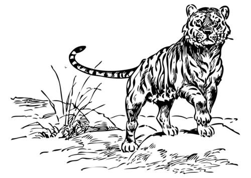 Dessin tribal tigre - Image dessin tigre ...