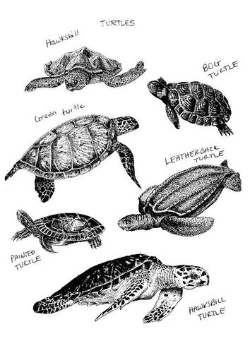 dessin tortue de mer